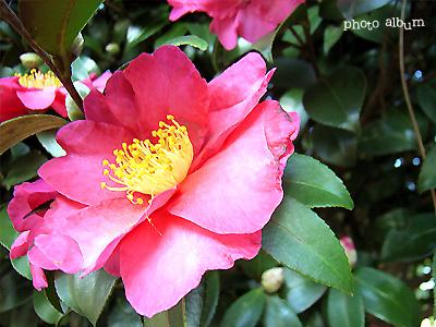 きょうの誕生花(12月4日):サザンカ(山茶花)