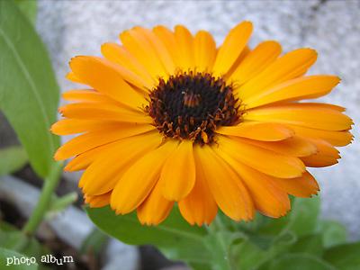 キンセンカ(金盞花)・ カレンデュラ