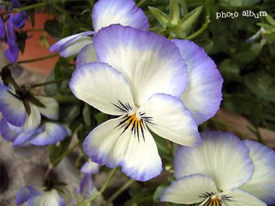 きょうの誕生花(11月11日):ビオラ