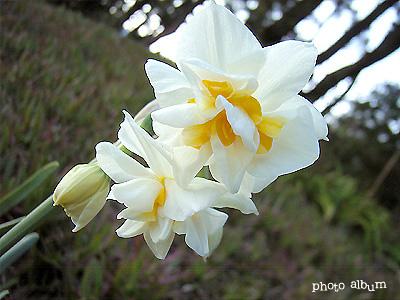 スイセン(水仙):八重咲き水仙