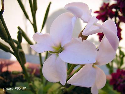きょうの誕生花(1月10日):ストック