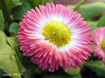 きょうの誕生花(2月15日):ヒナギク(雛菊)