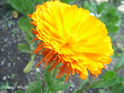 キンセンカ(金盞花)・カレンデュラ