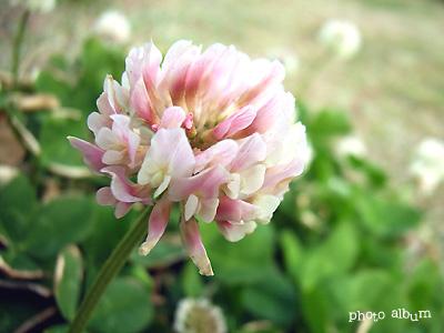 モモイロシロツメクサ(桃色白詰草)
