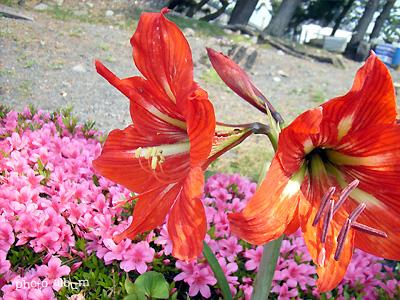 きょうの誕生花(5月28日):アマリリス