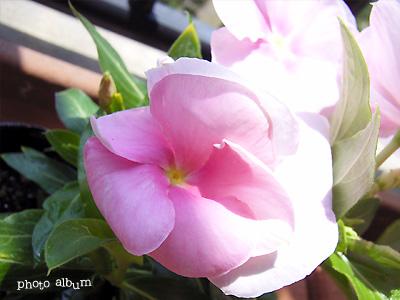 きょうの誕生花(7月30日):ニチニチソウ(日日草)