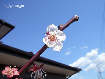 きょうの誕生花(4月12日):アンズ(杏)