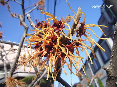 きょうの誕生花(1月6日):マンサク(満作)