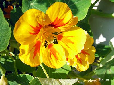 きょうの誕生花(5月11日):ナスタチウム