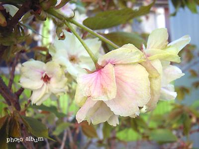 ウコンザクラ(鬱金桜)