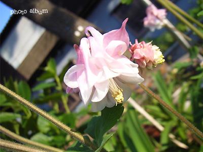オダマキ(苧環)・アキレギア