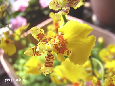 きょうの誕生花(1月15日):オンシジューム