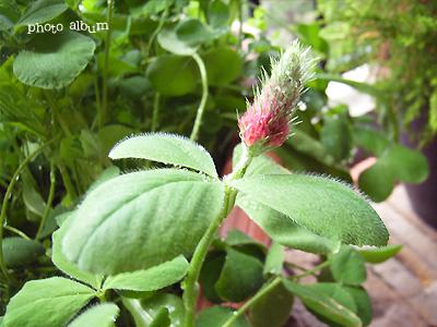 クリムソンクローバーストロベリーキャンドル ・ ベニバナツメクサ(紅花詰草)