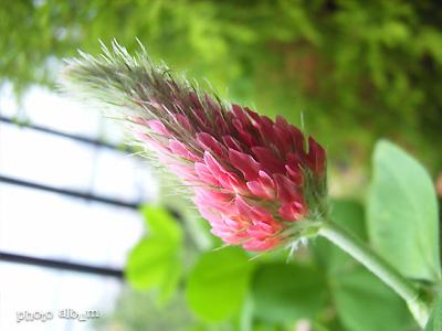 クリムソンクローバー・ストロベリーキャンドル ・ ベニバナツメクサ(紅花詰草)