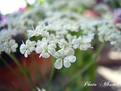 きょうの誕生花(3月15日):レースフワラー